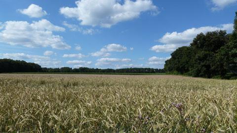 Typische Landschaft: Getreidefelder